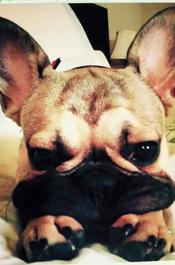 French Bulldogs | Pets and dogs